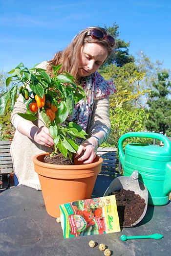 Balkongarten anlegen, Tomaten düngen