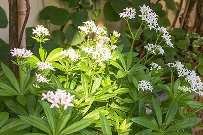 Waldmeister auf Balkon oder Kleingarten