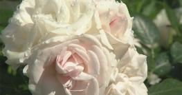 Rosengarten Gartengestaltung Pflanzen