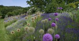 Allium und Lavendel beliebte Kombination