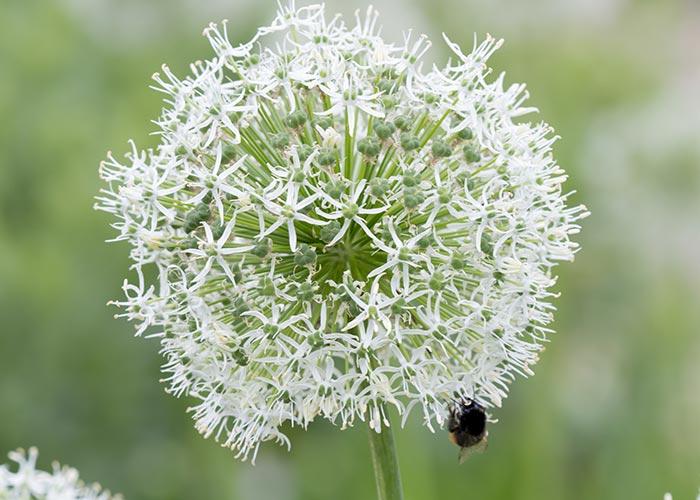 weiße Allium 'Mount Everest'