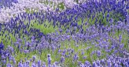 Lavendel als Rasenflächen