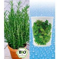 BIO-Rosmarinpflanze und WaterWick® 'Kräuter-Mix'