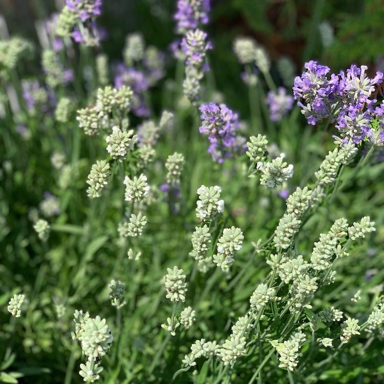 Lavendel in weiss und Lila