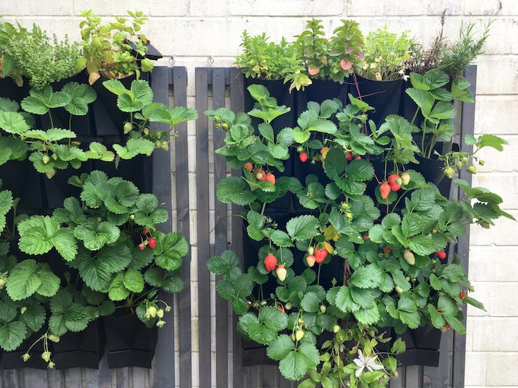 Auch in Anthrazit wunderschön: Hängegarten mit Erdbeeren (Foto Vertical Garden WALL-System)