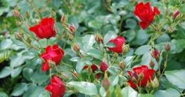 Majestätische Rosen