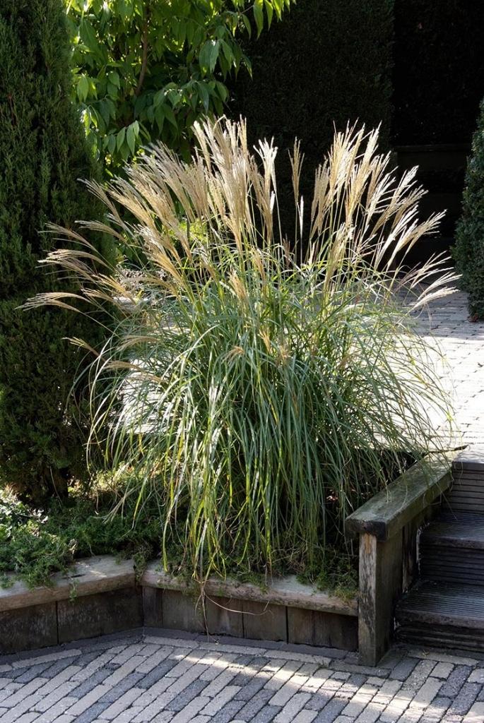 Viele Gräser sind für kleine Gärten ideal, denn sie erreichen eine imposante Größe und werden als Solitär zum Hingucker, wie zum Beispiel das feine Chinaschilf.