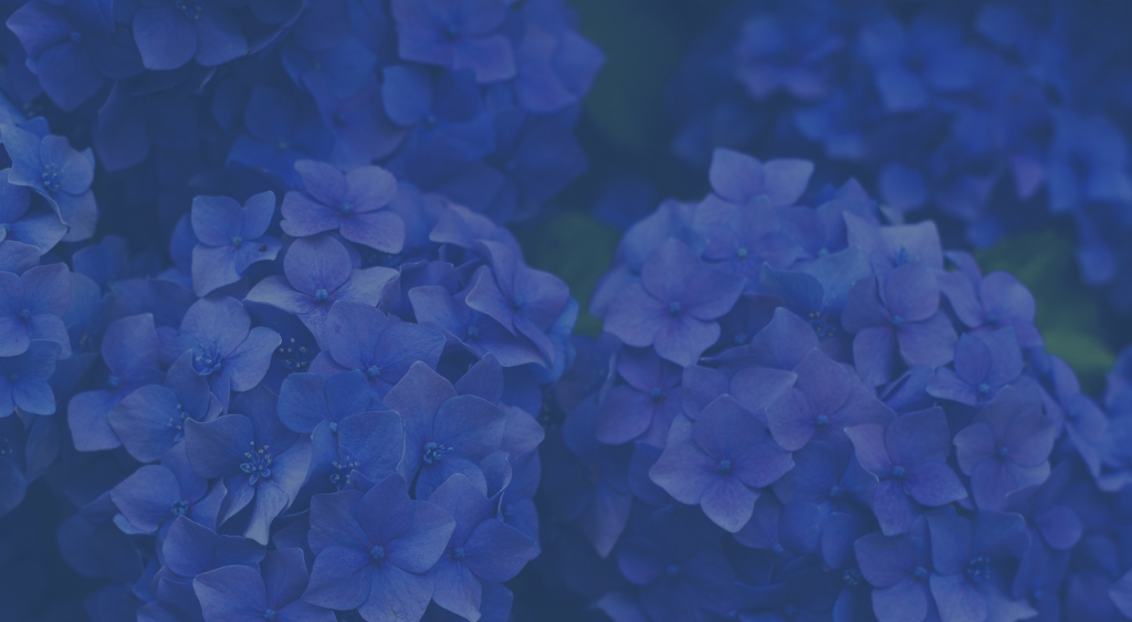 Hortensie eingefärbt Classic Blue Pantone Farbe 2020