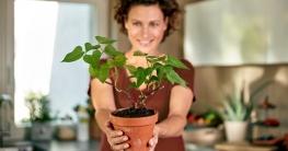 Süßkartoffelpflanze Regrow
